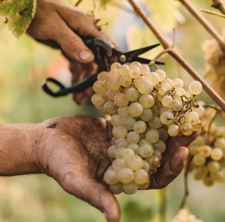 uva franciacorta moraschi vini
